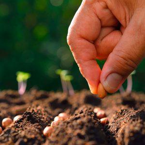 Hand pflanzt Samen